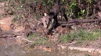 Видео: Паукообразные обезьяны играют с малышами капибары, пока их мама не смотрит