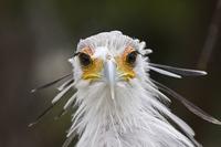 Птица-секретарь великолепна настолько, что подходит на роль фантастического персонажа