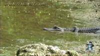Видео: Гигантская змея переплывала озеро, но вдруг уперлась в крокодила