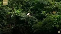 Видео: В Китае были замечены самые охраняемые и редкие обезьяны — лангуры Франсуа