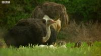 Видео: Страус против гиен в парке Серенгети