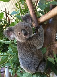 В Австралии прошел самый очаровательный конкурс: в соцсетях выбрали самую милую коалу