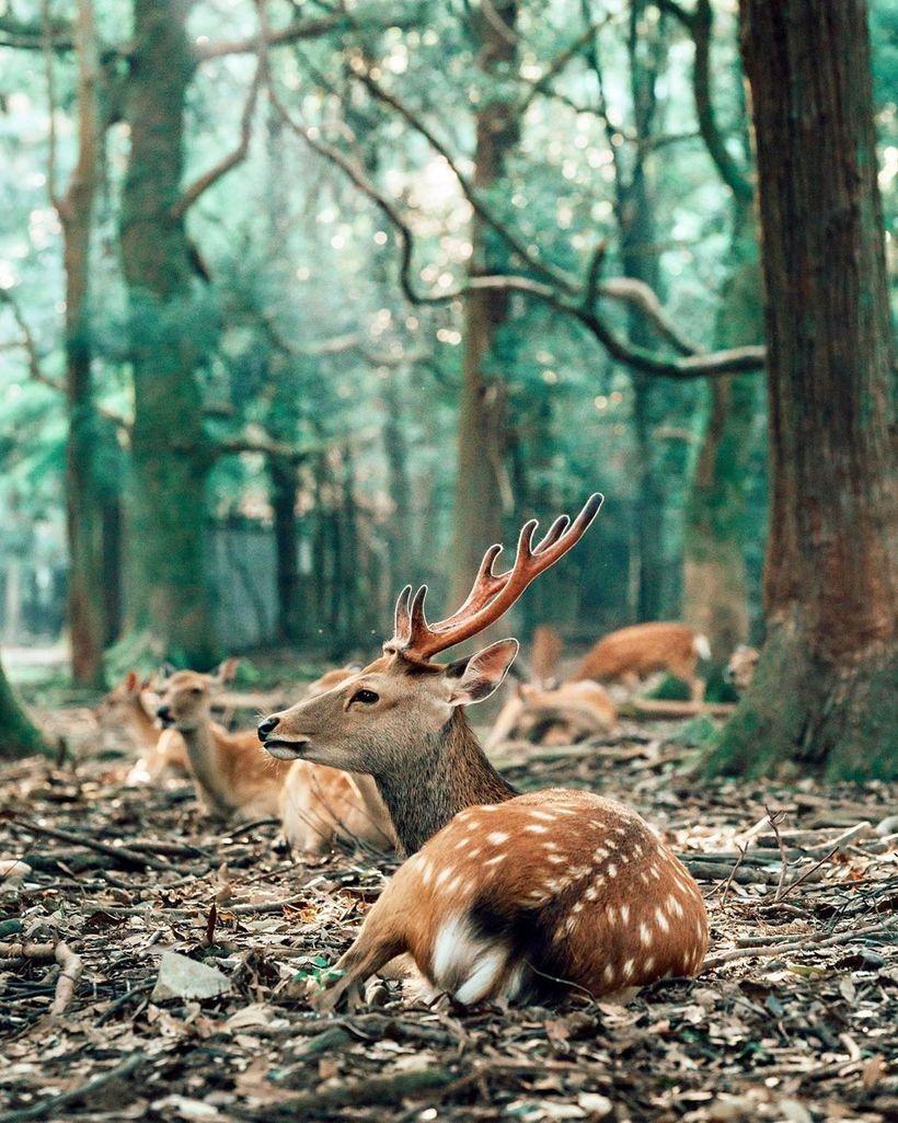 Феномен японского лета: более 600 диких оленей ежедневно собираются в парке