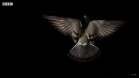 Видео: Полет голубя в замедленной съемке
