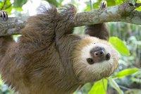 Почему ленивцы такие ленивые