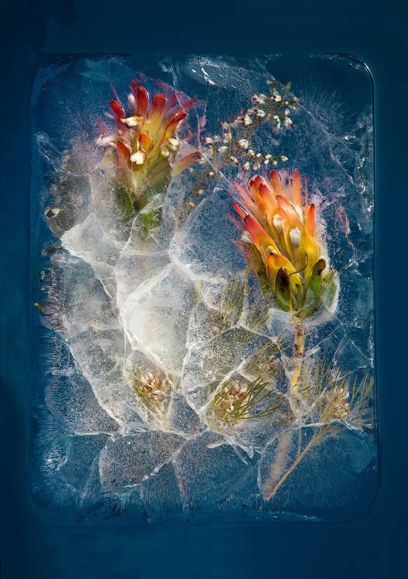 Цветы Южной Африки, замороженные в восхитительных композициях
