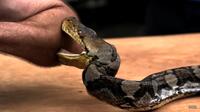 Видео: Парень решил на себе испытать, насколько сильно кусается питон