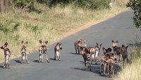 Видео: Бородавочник против целой стаи диких собак