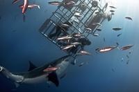 Как погладить большую белую акулу