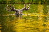 Факты на грани фантастики: косатки охотятся на лосей, а мама-утконос «потеет» молоком