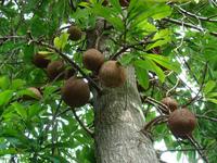 Почему бразильские орехи не научились выращивать и до сих пор собирают в лесу