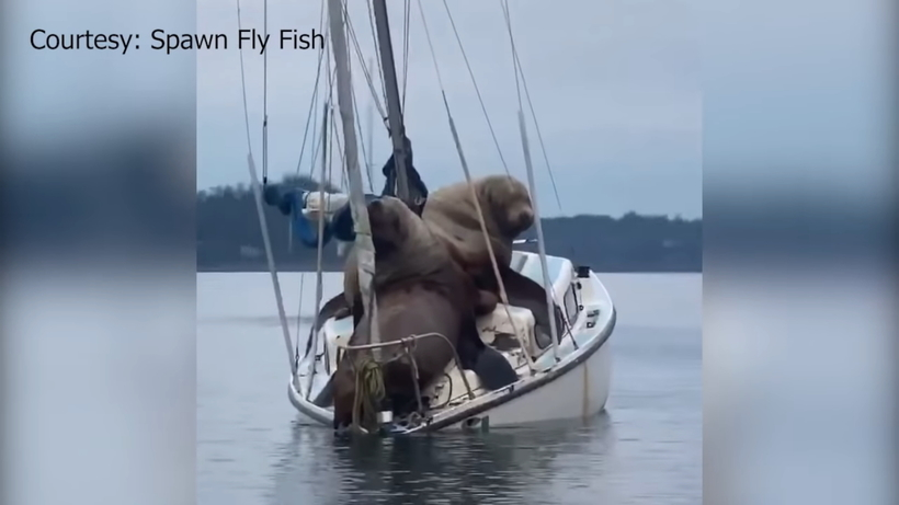 Видео: Огромные морские львы отдыхают на очень маленькой лодке