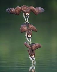 Невероятные фотографии скопы во время охоты