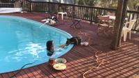 Видео: Коала отблагодарила давшую ей воды девушку поцелуем
