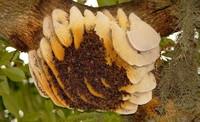 Пчелы строят улей в форме сердца, если их ничто не ограничивает