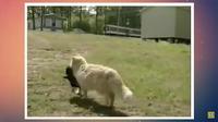 Видео: Кошка не смогла совладать с материнским инстинктом и похитила соседских щенков