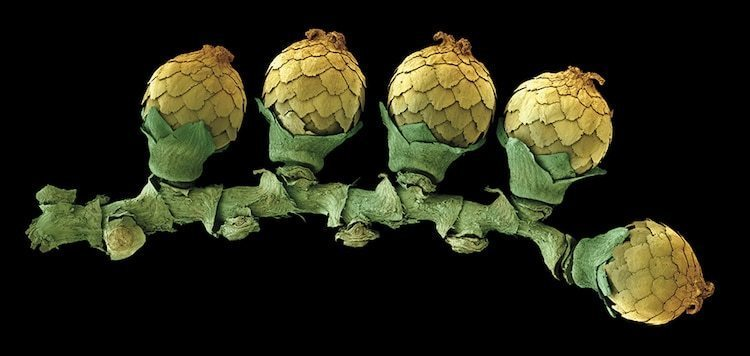 Поразительные цветные микрофотографии пыльцы, семян и фруктов