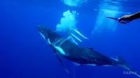 Видео: Как плачет кит, когда попадает в сети