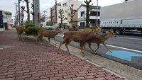 Как после Судного дня: обезлюдевшие из-за вируса улицы городов начали занимать звери