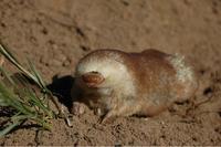Без глаз и ушей, но с клешнями: невероятные сумчатые кроты Австралии