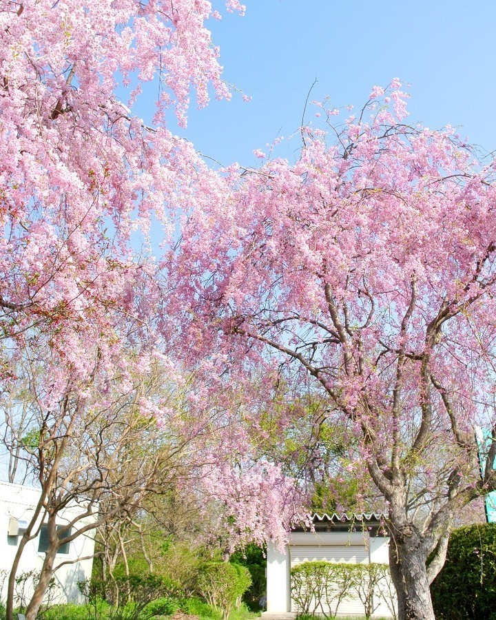 Как насладиться цветением сакуры в Японии в условиях карантина
