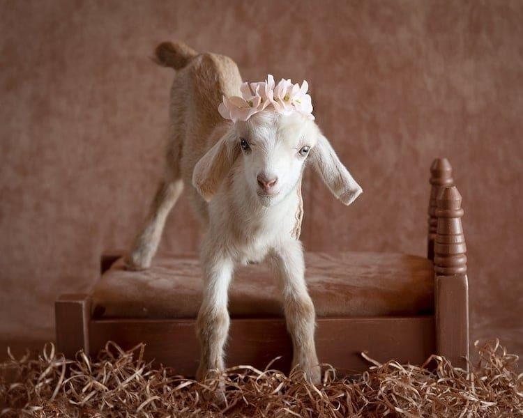 Очаровательные новорожденные козлята в фотосессии, снимающей стресс