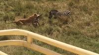 Видео: Зебра отвлекла львицу на себя, чтобы спасти детеныша