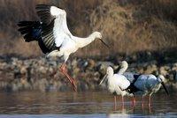 Как на Дальнем Востоке спасли вымирающий вид аистов