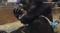 Видео: Горилла никак не может остановиться целовать своего новорожденного малыша