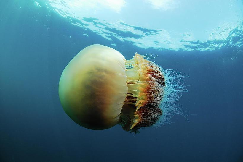 Большие медузы фото в приморском крае
