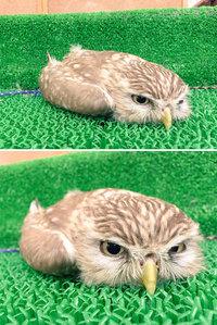 10 смешных фото о том, как спят совы