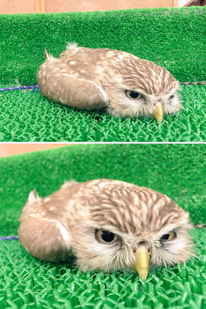 Наши забавные питомцы - Страница 4 Sleeping-baby-owls-face-down-5-5ef2f59e1b095__700
