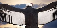 Пять часов без единого взмаха крыльями — как летают андские кондоры
