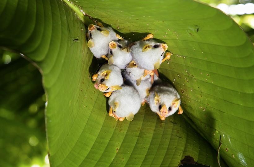 Очаровательны до невозможности: как выглядят самые милые летучие мыши